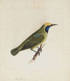 A green bulbul; a blue flycatcher   Company School, circa 1830  two watercolours on paper, nasta'liq inscriptions with translations in pencil at bottom, mounted with English identifications   247 x 204 mm.(2)