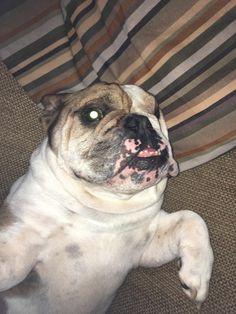 Bulldog selfiehttps://i.redd.it/8omfjum4qruy.jpg