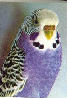 What is the rarest known colorn mutation for the parakeet. Has there ever been a red one ? What is the most valuable parakeet. And yes I know for pets they are all priceless I was just curious . Parakeet Colors, Budgie Parakeet, Budgies, Parrots, Cockatiel, Cute Birds, Pretty Birds, Beautiful Birds, Animals Beautiful