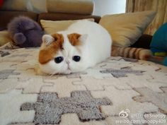 kawaii cat~~ with big eyes~ Picture from Cute Cats. The Animals, Baby Animals, Funny Animals, Cute Kittens, Cats And Kittens, Snoopy Cat, All Cat Breeds, Cat Scottish Fold, Cats With Big Eyes