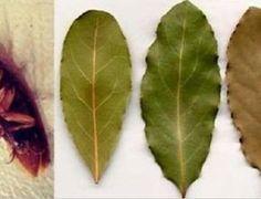 O uso medicinal desta folha tem sido cada vez mais reconhecido.E isso não é por acaso. Quem usa vira fã e dissemina para outras pessoas o potencial dela. Além disso,