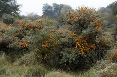 Common sea-buckthorn (Hippophae rhamnoides) | Flickr - Photo Sharing!
