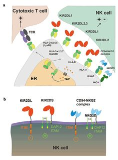 NK cell receptor interactions. (a) The interactions of NK and T cell receptors with classical and nonclassical MHC class I molecules. (b) In...