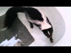 Swimming skunk !!! - YouTube