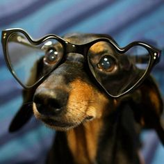 Looking through the eyes of doxie love (;  Our animals are always offering unconditional love and add so much to our days...what would we do without them (;