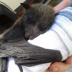 fruit bat looks like a puppy with wings :) Bat Animal, Mundo Animal, Beautiful Creatures, Animals Beautiful, Animals And Pets, Cute Animals, Bat Flying, Baby Bats, Fruit Bat