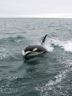 Killer Whale (Orcinus orca) by Crappy Wildlife Photography, via Flickr
