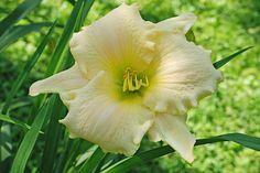 Hemerocallis 'White Rose Memorial' Foto©Barbara Ehlert 2015 Bara's Blog: Hemerocallis