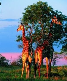 giraffes in South Africa - I want to see this for myself one day