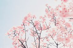 cherry blossom, flower blossom, flowers, nature, photography, sakura