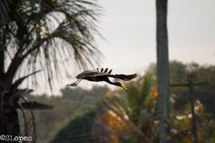 Carão   O carão (Aramus guarauna), Também conhecido por saracurão (Rio Grande do Sul) é uma ave gruiforme, presente no estado da Flórida e do México à Bolívia e Argentina e Brasil. É o único representante da família Aramidae e do gênero Aramus. Nome Científico Seu nome científico significa: do (grego) aramos = um tipo de garça mencionado por Hesychius; e do (tupi) guarauna = nome indígena para esta ave que significa pássaro preto do brejo. ⇒ Garça preta do brejo.