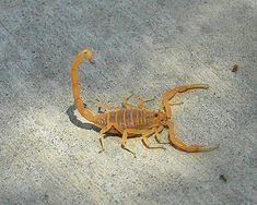 Bark Scorpion is the United States most venomous