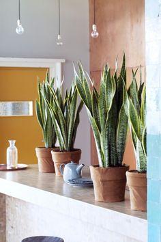 Le Sansevieria, également connu sous le nom de Langue de belle-mère, est pourtant un grand costaud indestructible. Cette plante préfère dégager de l'humidité que d'en absorber et n'a aucun mal à quitter son désert pour un pot tendance dans une maison. Des feuilles incroyables!
