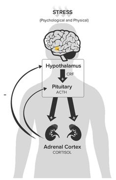 The hypothalamic, pituitary, adrenal (HPA) axis - the stress response system