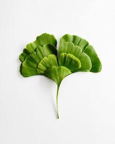 Gingo leaf