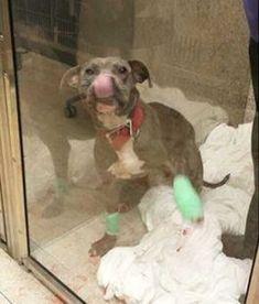 Polizist adoptiert traumatisierten Pit Bull   LikeMag - Social News and Entertainment #pitbull