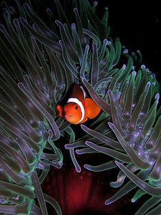 Clownfish share a symbiotic mutual relationship with sea anemones, predatory animals closely related to corals and jellyfish. The sea anemone inhabits coral reefs and uses its stinging tentacles to paralyze prey and enemy alike