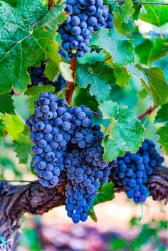 Old vines, strong and true, bring generations of fruit. Time makes the wine Sweeter Patience, Maura Patience RHMImages Fruit Plants, Fruit Garden, Fruit Trees, Trees To Plant, Fruit And Veg, Fruits And Vegetables, Fresh Fruit, Wine Vineyards, Vides