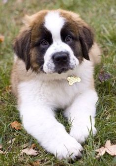 From Switzerland comes the St Bernard dog which is one of the largest dog breeds in the world. This canine can claim to be the epitome of rescue dogs, and it ha Cute Puppies, Cute Dogs, Dogs And Puppies, Doggies, Big Dogs, I Love Dogs, Perros Chow Chow, St Berdoodle, Animals Beautiful