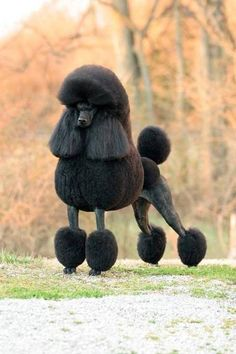 London,a Standard Poodle & the top dog in the nation!  Magnificent!
