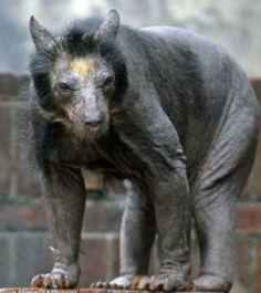 Twitter / sekai_tinju: 新種の動物発見!!かと思いきや、実は「毛を剃ったパンダ」らし ...