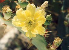 Kaktusblüte, Foto: S. Hopp