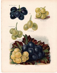 1891 Antique Fruit Print Grapes by AntiquarianPrints on Etsy, $20.00