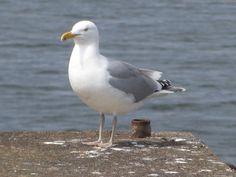 Gull of Charles River (Boston)
