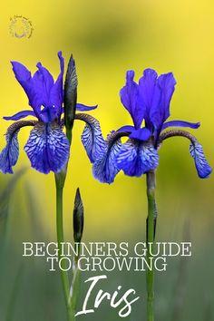 Growing Irises, Growing Sunflowers, Growing Tree, Shade Plants, All Plants, Spring Perennials, Replant, Garden Living, Spring Garden