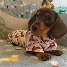 Dachshunds - The Most Fictional Dogs - Dachshund Bonus Baby Dachshund, Dapple Dachshund, Miniature Dachshund Puppies, Cute Dogs And Puppies, I Love Dogs, Corgi Puppies, Chihuahua Dogs, Pet Dogs, Cute Funny Animals