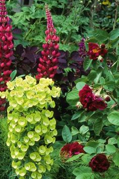 CHARTREUSE AND RED: 'Tuscany Superb' Gallica rose rubs elbows with Euphorbia characias subs. Wulfenii, Cotinus coggygria 'Royal Purple' and Lupin 'The Pages' | via @Sarah Raven