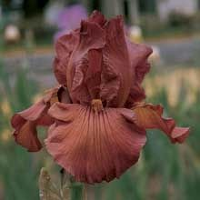 *Iris gingersnap- smells like rootbeer favorite-flowers-plants-and-trees