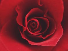 The Red Rose by Demi Kwant on 500px