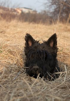 Look at that dusty nose! So adorable! - that Scottie is digging for gophers, I should know, my dog does it to our couch!               -Dani A.