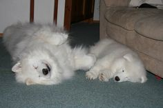 21 Samoyed Saturday Dog Samoyed Photos Who doesnt love cute fluffy dogs and are some of the cutest. Cute Fluffy Dogs, Cute Puppies, Dogs And Puppies, Whiskers On Kittens, Samoyed Dogs, Puppy Images, Dog Rules, Cute Funny Animals, Baby Dogs