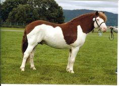 Gotland Pony - stallion Toppå 550 (Lon - Ja - Okej) |  Gotlandsruss iFokus