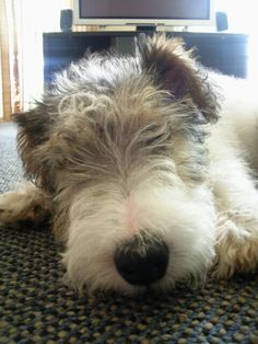 Wire Fox Terrier - Miss Pickles as a puppy