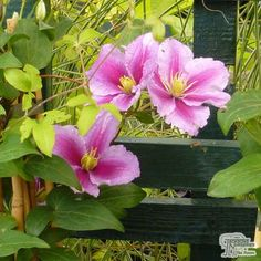Buy Clematis Nelly Moser online from Jacksons Nurseries