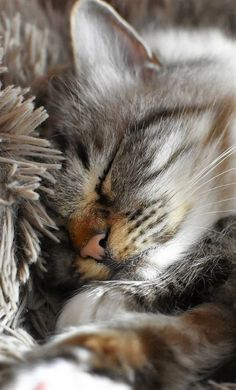 ❤️MonChatDoré - Beautiful Cats⎪Les plus beaux chats - Katzen Cute Cats And Kittens, I Love Cats, Crazy Cats, Kittens Cutest, Pretty Cats, Beautiful Cats, Animals Beautiful, Cute Animals, Animals Images