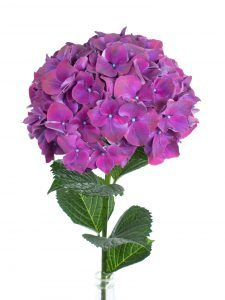 Hortensie Magical Rubyred Aubergine lila rot