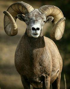 Massive ram Animals With Horns, Animals And Pets, Cute Animals, Cabras Animal, Animal Games, Wild Animals Pictures, Animal Pictures, Forest Animals, Nature Animals
