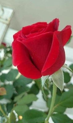 – Serarslan Kaligrafi – Join the world of pin Beautiful Red Roses, Red Flowers, Beautiful Flowers, Beautiful Voice, Anemone Flower, Flower Pots, Blossom Garden, Calla Lillies, Flower Phone Wallpaper