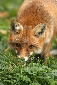 ❧ Foxes - Renards ❧