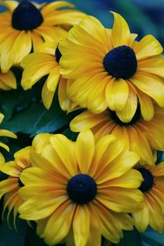 49 best august flowers images on pinterest august flowers rudbeckia black eyed susan yellow flowers pretty flowers colorful flowers yellow wildflowers mightylinksfo