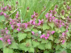 Spotted Deadnettle Ground Cover: Growing Tips And Care Of Spotted Deadnettles - Spotted deadnettle ground cover is an easy to grow plant with a wide range of soil and condition tolerance. One thing to be aware of, however, is its possible invasiveness. This article provides more info.