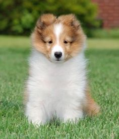 Sheltie puppy! Fluffy stuff lol