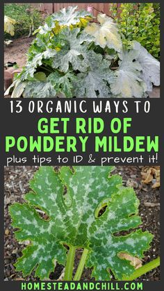 Powdery mildew is one of the most common plant diseases around. It can frustrating, but is nothing to fear! Come learn how to control mildew in your garden with these tips to prevent and get rid of powdery mildew - organically! #gardentips #garden #homesteading #powderymildew #gardening #organicgardening #mildew Gardening For Beginners, Gardening Tips, Raising Backyard Chickens, Plant Diseases, Powdery Mildew, Plants Are Friends, Organic Gardening, Urban Gardening, Beneficial Insects