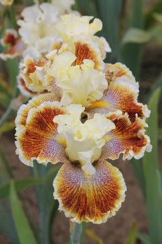 They can also be used as cut flowers and ground cover plants. They are an important garden plant.The bulbs of Iris genus generally have dormancy characteristics. The bulbs germination of Iris genus is very different. Iris Flowers, Exotic Flowers, Amazing Flowers, Colorful Flowers, Planting Flowers, Beautiful Flowers, Iris Garden, Garden Plants, Perennials