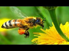 US rejects EU claim of insecticide as prime reason for bee colony collapse How Bees Make Honey, Honey Bees, Bugs, Foto Macro, Insecticide, Honey Face, Fake Honey, Save The Bees, Royal Jelly