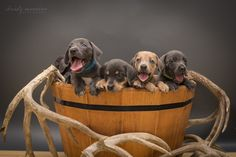 South Texas Lacy Dogs - blue Lacy pups - tracking dogs